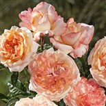 ROSE DE ST GEORGES
