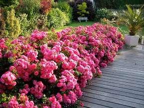 d corosiers emera rouge fuchsia pour massifs jardini res. Black Bedroom Furniture Sets. Home Design Ideas