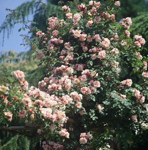 Rosier avec fleurs tr s parfum es albertine - A quel moment tailler les rosiers ...