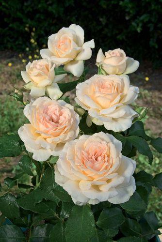 rosier buisson grandes fleurs sweet love. Black Bedroom Furniture Sets. Home Design Ideas