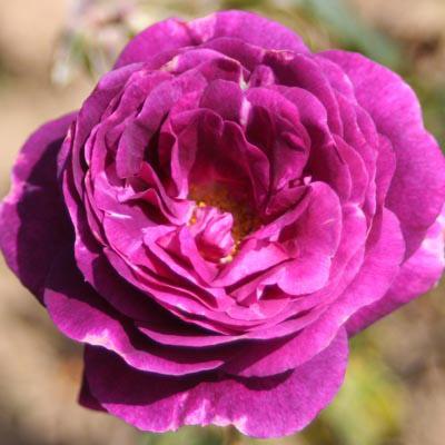 """Résultat de recherche d'images pour """"rose mystérieuse"""""""