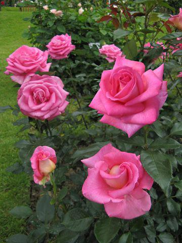 rosier parfum royal achat rosier buisson grandes fleurs. Black Bedroom Furniture Sets. Home Design Ideas