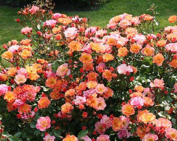 rosier orange saumon java rosier paysager couvre sol. Black Bedroom Furniture Sets. Home Design Ideas