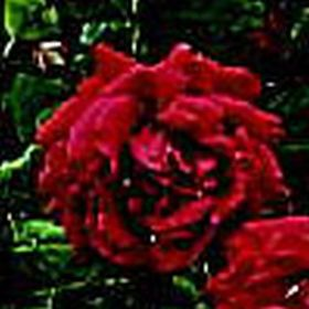 Rosier CRIMSON GLORY